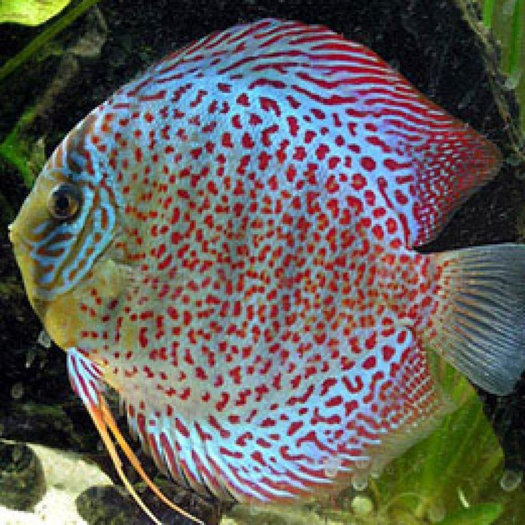 11 best tropical discus fish images on pinterest discus for Discus fish for sale near me