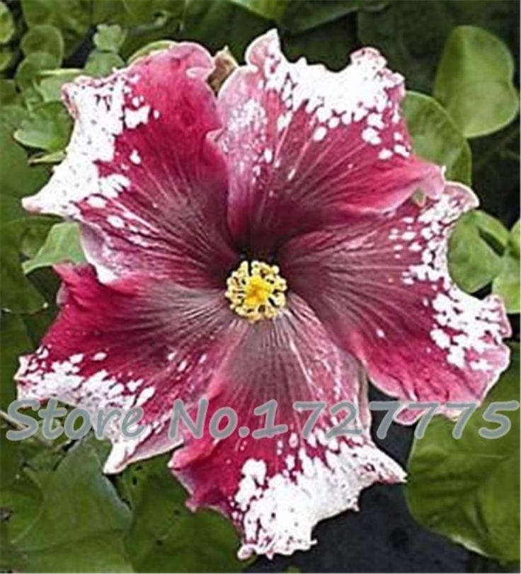 100% оригинал 100 шт. 15 видов многоцветный гибискус семена гибискус роса sinensis бонсай растение семена цветов купить на AliExpress