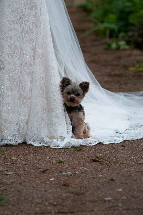 my yorkie loves to have her photograph taken... this is from my bridals. Thank you Keith Evans Photography!