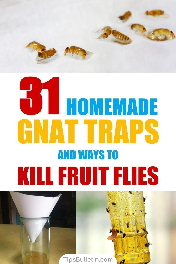 31 Homemade Gnat Traps And Ways To Kill Fruit Flies Tipsbulletin