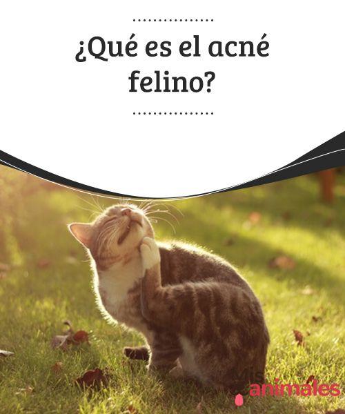 ¿Qué es el #acné felino?  Entre las #enfermedades más comunes de la piel en los gatos está el acné felino. Esta enfermedad consiste en unos folículos #capilares infectados, como #pequeños poros #infectados por bacterias, ubicados generalmente en la barbilla.