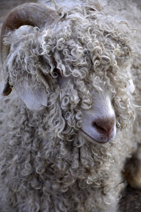 """goats hair Angora goats are not only beautiful to the eye, but as fiber goats, they're  """" spinning goats' hair is an ancient art even mentioned in the bible."""