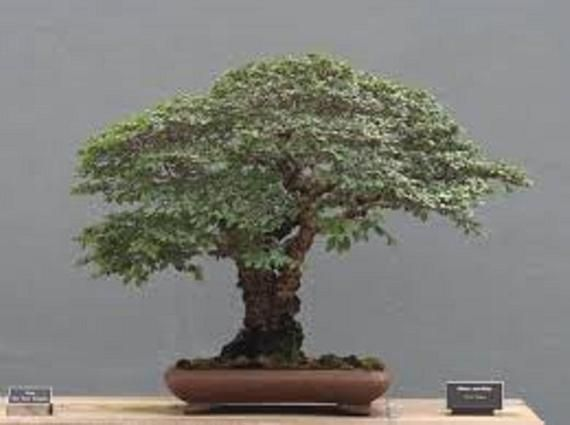 25 x Chinese Elm Tree seeds Ulmus Parvifolia
