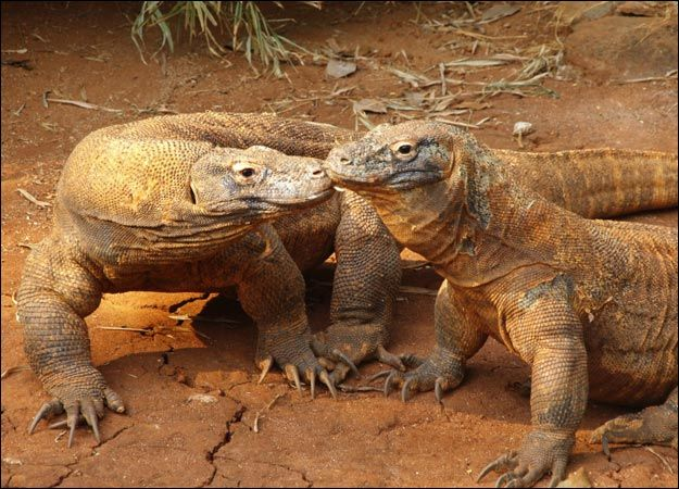 """Information on Komodo Dragons, we will be adding this to our """"Book of Really Interesting Things"""""""