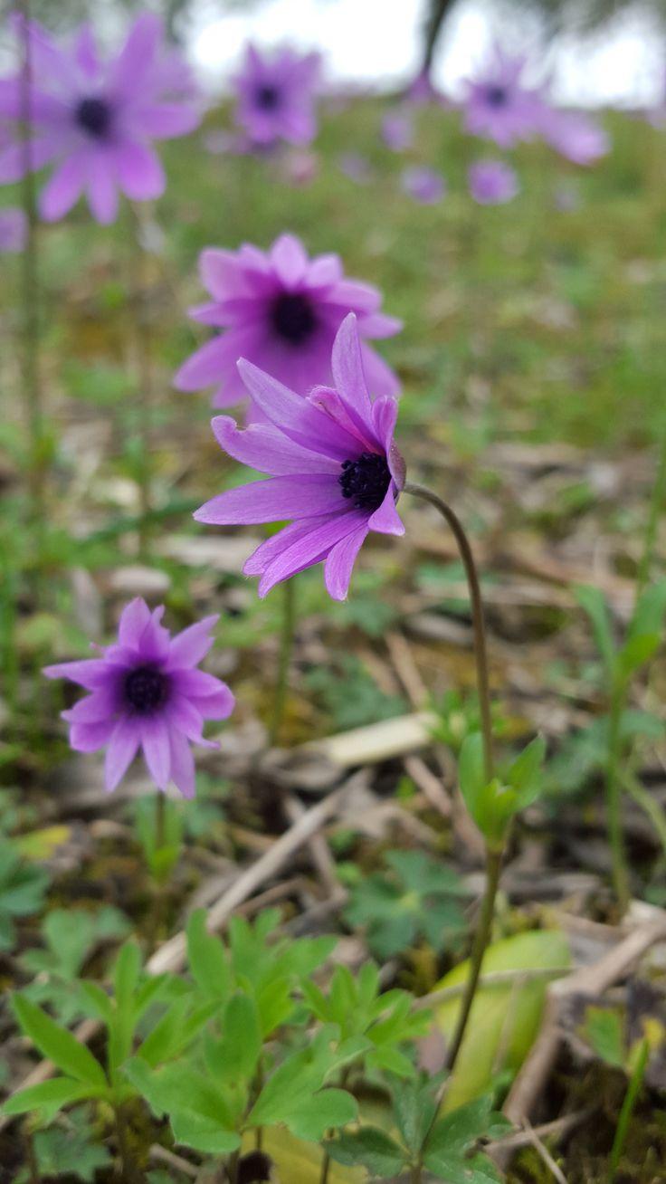 Fiori di campo, anemone viola
