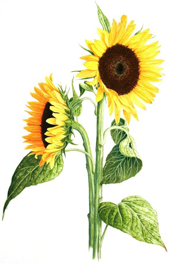 Sunflower  © Graham Singleton Reed  Watercolour paint and watercolour pencils