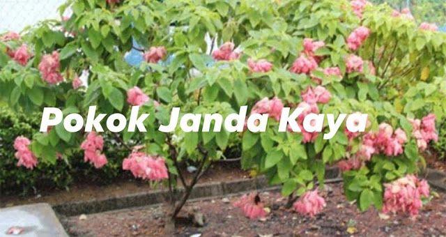 Pokok Janda Kaya Rawat Panas Badan Dan Demam Kaya Plants Dan