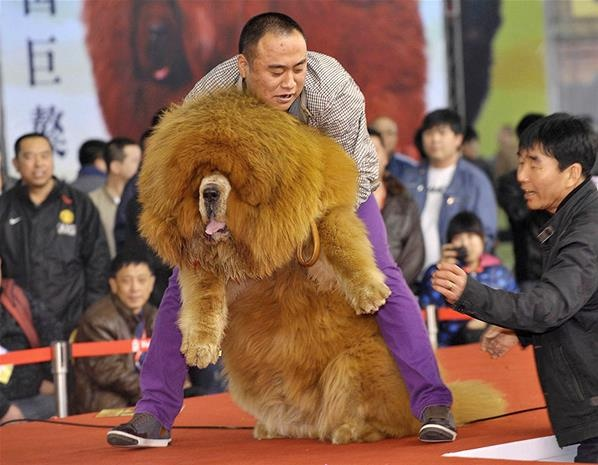 El mastín tibetano gigante (© Reuters)