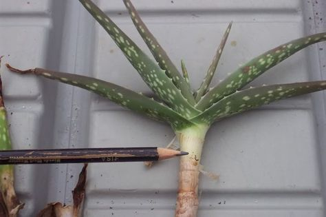"Re-potting an Aloe that has developped a long stem from growing above the soil. This author describes how to cut it just below the ""green active part"" and replant it."