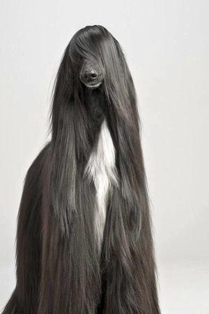 美しさは私たちの命なの!【アフガン・ハウンド】 おじゃかんばん『ワンちゃんだらけ 犬の写真日記』