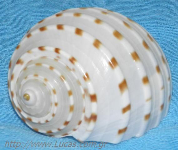 Κοχύλι σαλιγκάρι