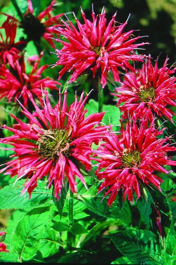 91 best plants i grow in south florida zone 10 images on pinterest bee balm is a beautiful flower thats as attractive to butterflies and hummingbirds as it is to humans get expert tips for growing bee balm in your garden mightylinksfo