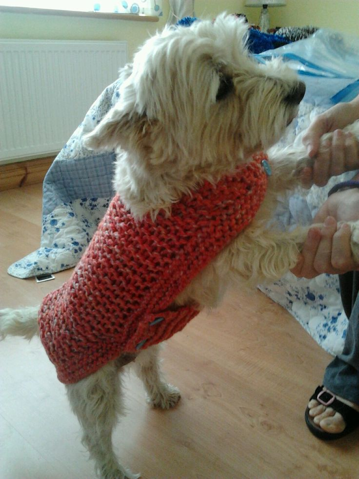 Hand knitted pink dog coat, modeled by my West-highland terrier, Morag