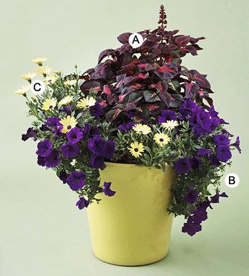 This fun combo with traditional petunias and osteospermums is elevated by the dramatic perilla that demands attention.  A. Perilla 'Magilla' -- 1  B. Petunia 'Supertunia Royal Velvet' -- 2  C. Osteospermum 'Lemon Symphony' -- 2