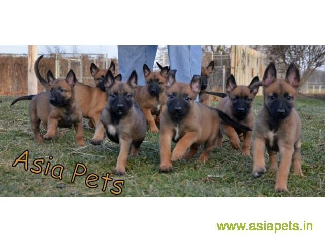 Belgian Malinois Puppies For Sale In Hyderabad On Best Price Asiapets Belgian Malinois Puppies Malinois Puppies Malinois Puppies For Sale