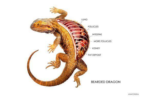 Bearded Dragon Labeled Internal Anatomy Print Africancichlids Amphibians Anatomy Aquariumfi Bearded Dragon Bearded Dragon Care Bearded Dragon Funny