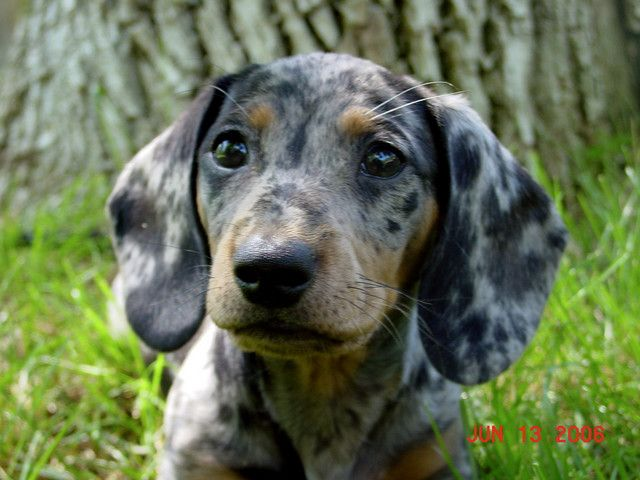 Blue Dapple Daschund - Next time I get a doxie, I want him/her to look like this!  :-)