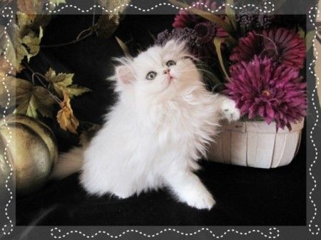 white teacup persian kittens for sale