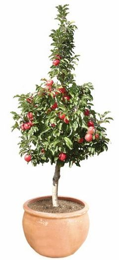 Pinkabelle - dwarf pink lady :): Lady Apples, Apples Trees, Gardens Inspiration, Apples Orchards, Ballerinas Apples, Dwarfs Pink, Dwarfs Apples, Fruit Trees,  Flowerpot