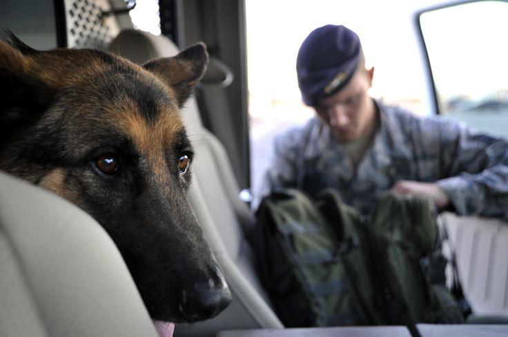 Military Working Dog Dak, looks out a truck in anticipation while his handler Staff Sgt. Joseph Nault, 799th Security Forces Squadron MWD trainer, checks his gear July 18, 2014, at Creech Air Force Base, Nev. MWD's are used as a deterrent and to search for contraband such as drugs and explosives, as well as enemy positions to protect military personnel on the battlefield. (U.S. Air Force photo by Airman 1st Class Christian Clausen/Released)