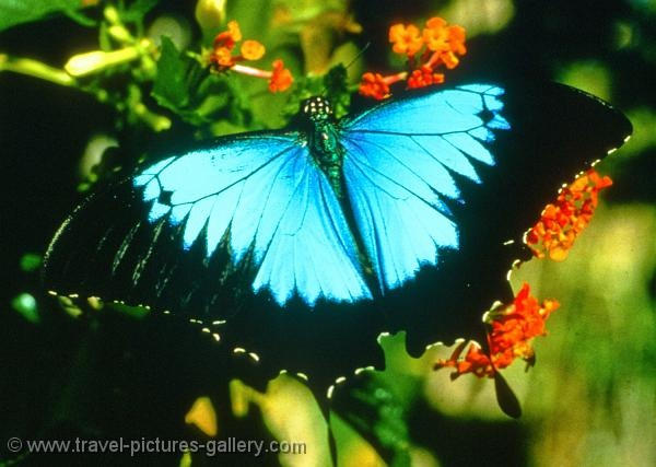 Ulysses butterfly at the Butterfly Sanctuary in Kuranda