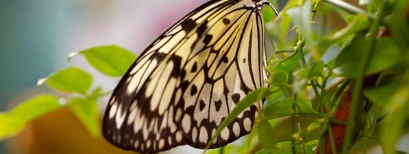 Descubren una nueva especie de mariposa en Jamaica, la primera en 17 años