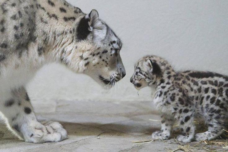 cucciolo di leopardo delle nevi nato alo zoo di Servion in Svizzera