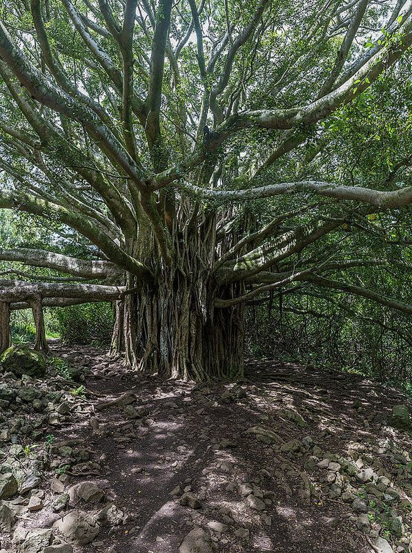 This banyan tree was located on the island of Maui in the Haleakala National Park. I can just imagine all the stories this tree could tell if it could talk. #photography #Tree #maui #homedecor