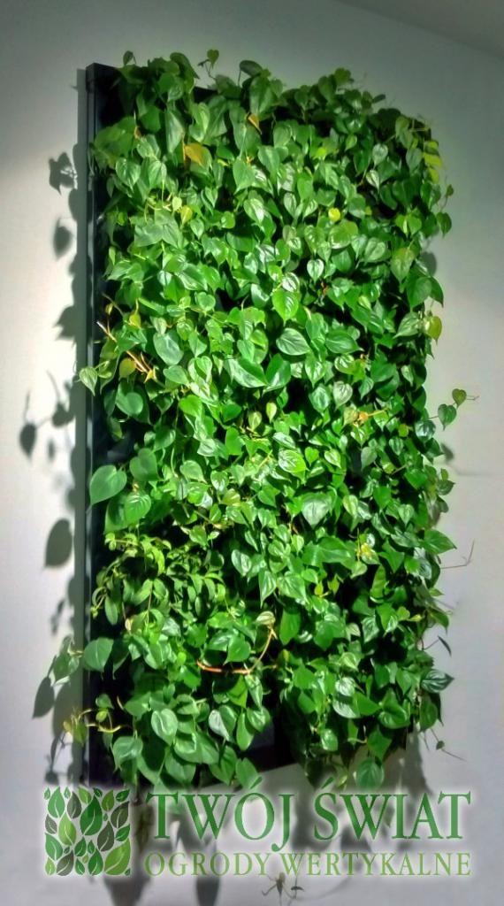 Żywy obraz z Filodendrona. #verticalgarden #zielonesciany #Philodendron