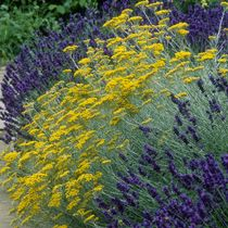 Helichrysum italicum: my new curry plant. Nice combination with lavender