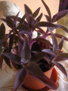 Zdjęcia roslin pokojowych. Ogrodnik-amator. Amatorska uprawa roślin pokojowych.