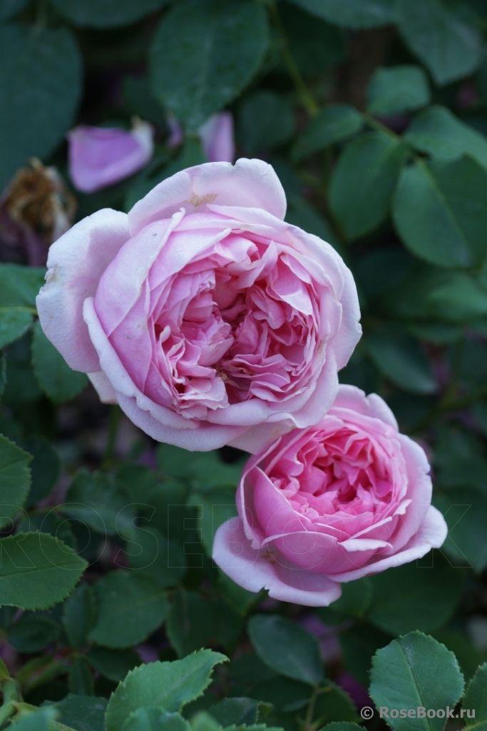 'Pretty Jessica'   English Rose - Austin 1983