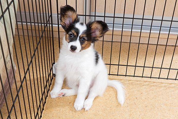 "He's so cuuute!  <a href=""http://www.shutterstock.com/pic-126009524/stock-photo-puppy-papillon-in-a-cage-for-small-dogs.html"" target=""blank"">A puppy behind a gate</a> by Shutterstock."