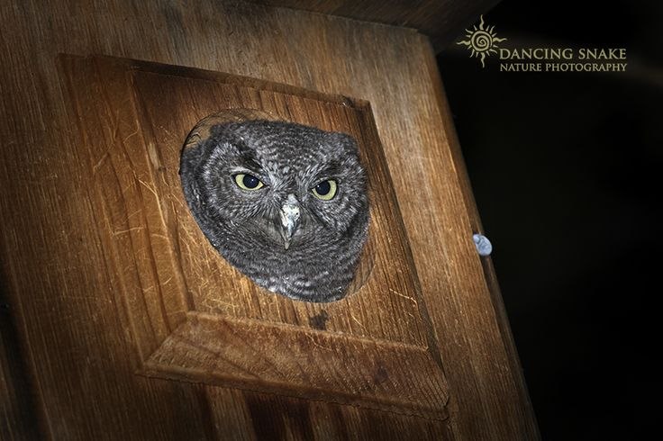 HOO...the heck are you with that camera in my face! Western Screech Owlet (in nest box - private residence). ©R.C. Clark: Dancing Snake Nature Photography All rights reserved Tucson, AZ. DancingSnakeNaturePhotography@Yahoo.Com #arizona, #nature, #photography, #dancingsnakenaturephotography, #birds, #raptors, #WesternScreechOwl