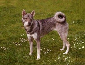 Swedish Elkhound - Jämthund | Фото породы собак средних размеров Шведский элкхаунд. Фото охотничьей собаки.