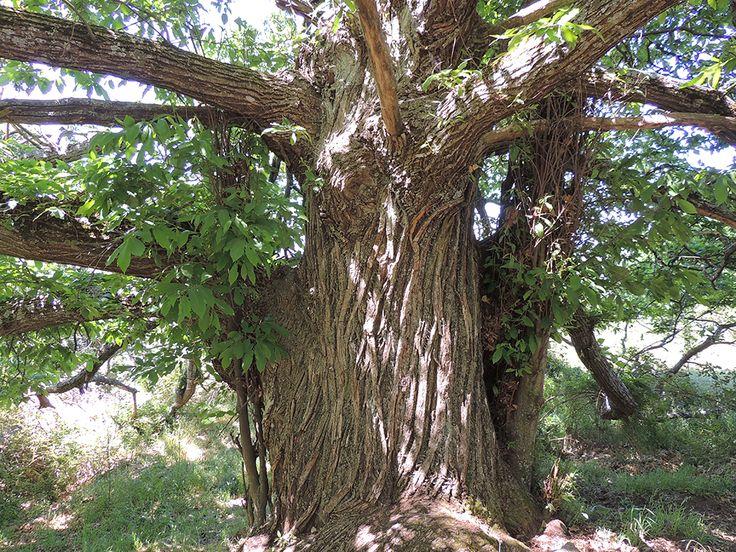 Un viejo castaño de más de 300 años en Zarzalejo, árbol singular de la Comunidad de Madrid. http://www.elhogarnatural.com/Arboles.htm