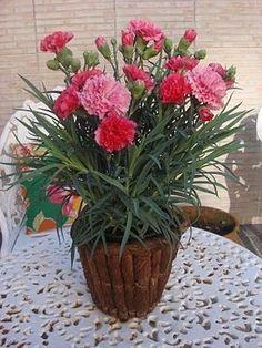 O cravo é uma planta conhecida mundialmente. Tem o ciclo de vida perene e possui diversas variedades. Figura: Cravo Figura:...