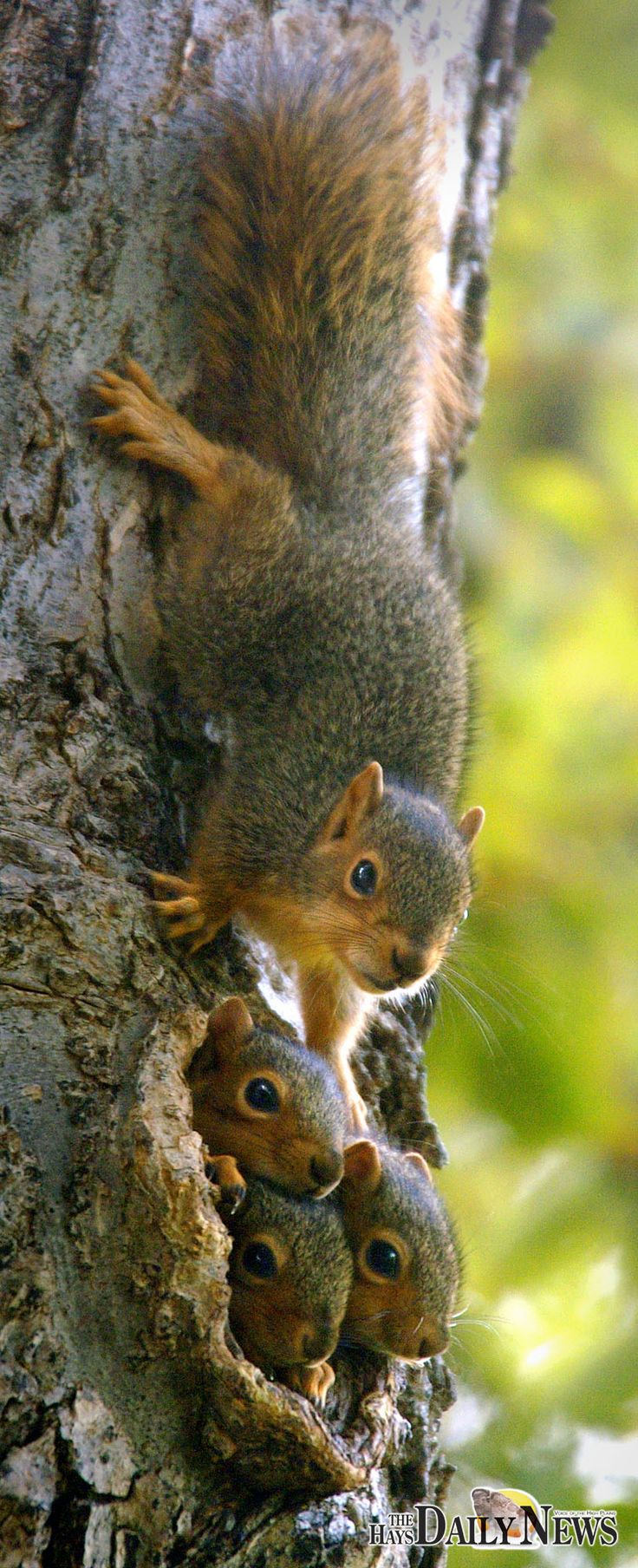 Recently, I repinned a photo of some baby squirrels because I thought it looked familiar, but THIS is the photo I was thinking of. Taken by @Steven Hausler of The Hays Daily News & pinned with his permission.