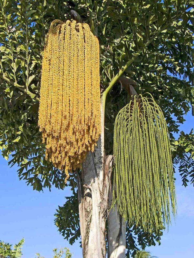 fishtail palm inflorescences har ka i ekler flowers. Black Bedroom Furniture Sets. Home Design Ideas