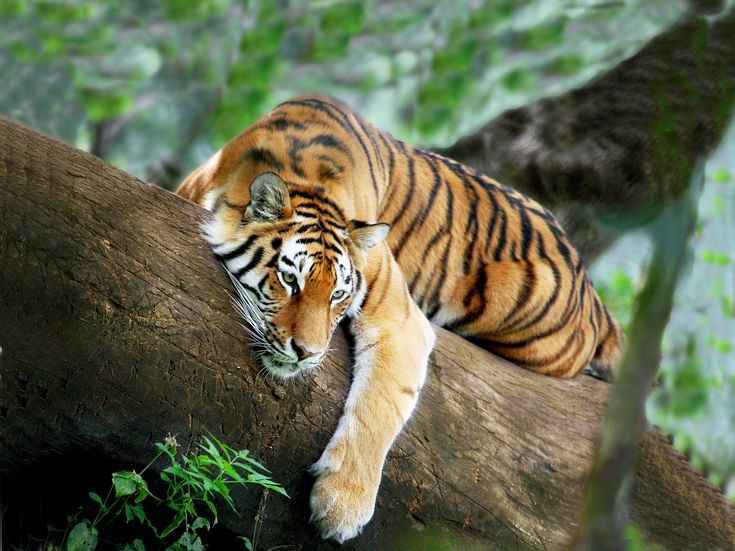tigers | ... Tigers ( TOFT ), by an eminent Tiger biologist and he had got me