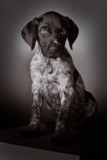 GSP puppy. It's my Toby! Wish I could have seen him as a puppy :)