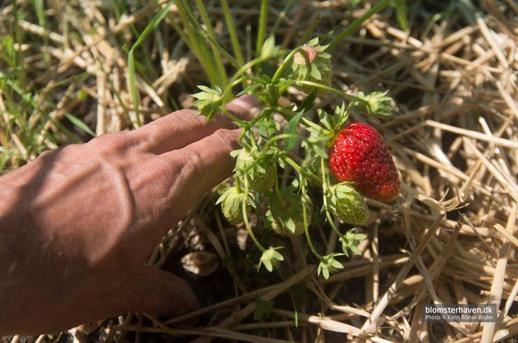Strawberries – Ostara form www.blomsterhaven.dk