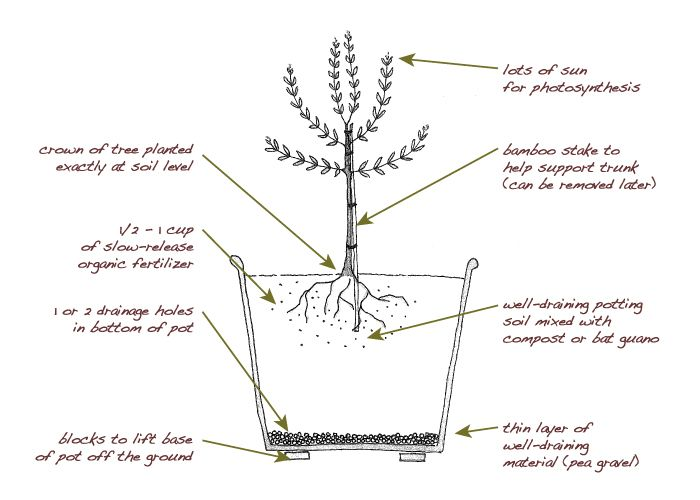 growing potted olive trees | Olive Tree Care - Planting Olive Trees in a Pot - McEvoy Ranch