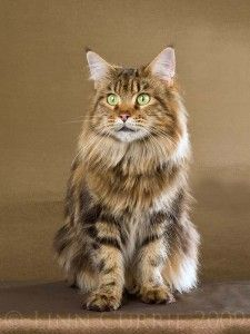 Maine Coon, So Beautiful