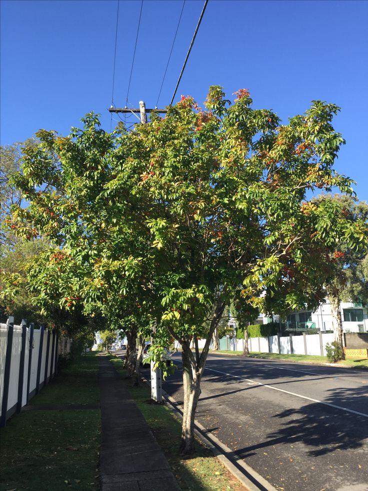 Tulipwood Tree