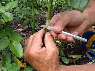 The Minnesota Rose Gardener: Propagating Roses by Air Layering- North Central ARS Convention