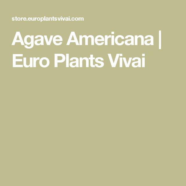Agave Americana | Euro Plants Vivai