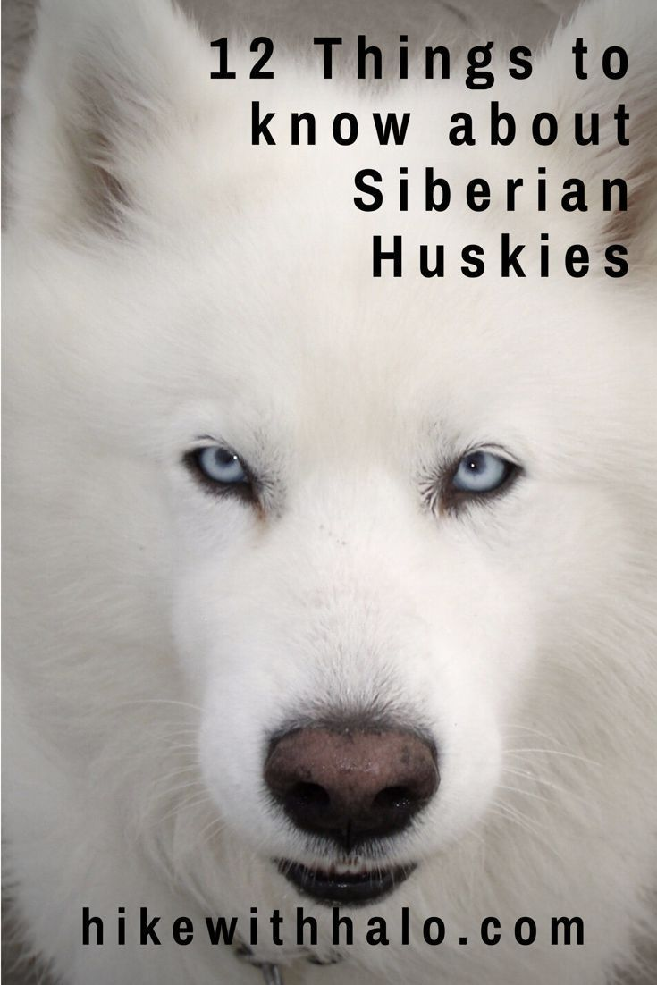 12 Traits Of The Siberian Husky That You Need To Know Before