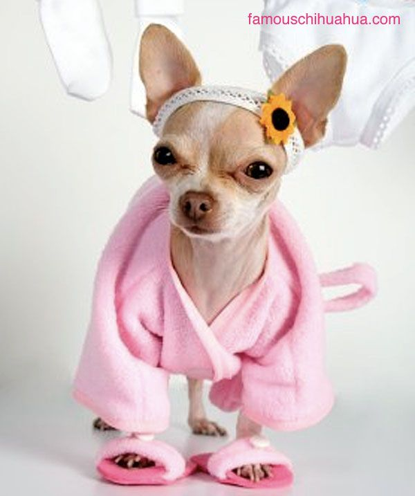 1000+ images about Chihuahua Photos on Pinterest