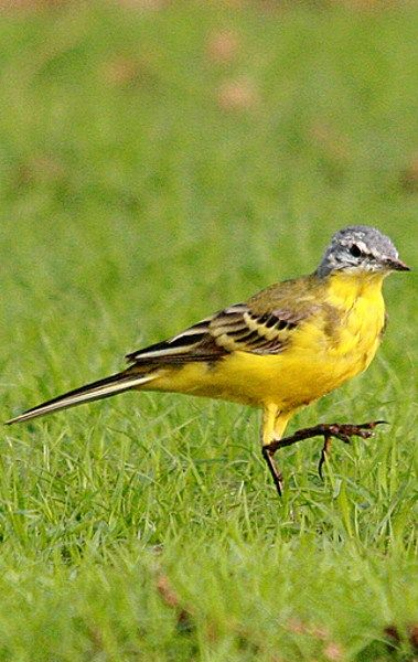 The Yellow Wagtail kabini. Explore wildlife by resorts near kabini.